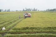 Lúa gạo giảm giá mạnh những ngày cận Tết